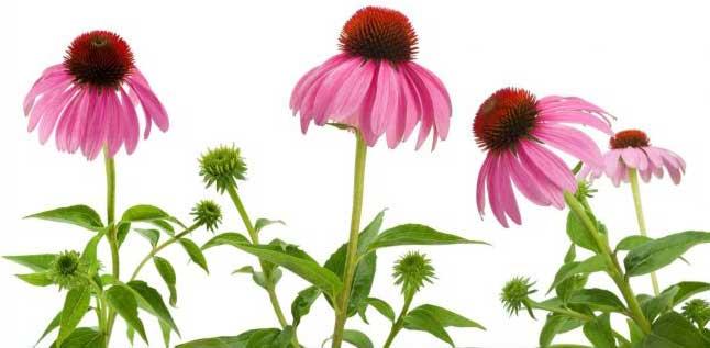 نبات القنفذية